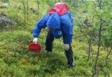 Как регулировать сбор диких ягод и грибов? Мнение эксперта